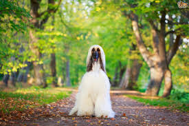 afghan hound dog images grooming your afghan hound at home pets4homes