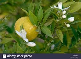 chinotto orange ornamental orange citrus myrtifolia citrus