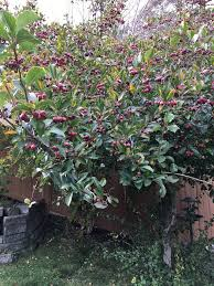 how i learned to identify the hawthorn tree berries the ardent