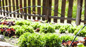 Small Vegetable Garden by A Small Vegetable Garden With Salad During Summer Season Vivid