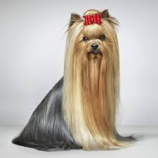 yorkie haircuts for a silky coat yorkshire terriers akc ocala florida