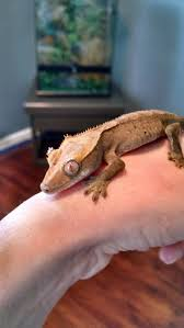 Halloween Crested Gecko Morph by De 69 Bästa Crested Gecko Bilderna På Pinterest