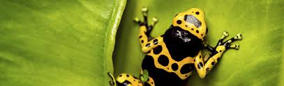about tree frogs yellow banded poison dart frog