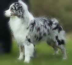 3 winds ranch australian shepherd the aussie weekly 20 u2014 the weekly special feature for australian