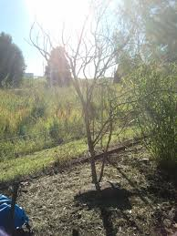 Transplant Fruit Trees - 100 transplant fruit trees forum transplanting older citrus