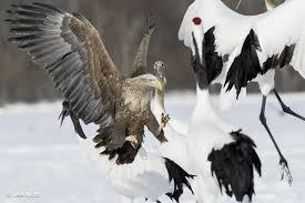 white tailed sea eagle haliaeetus albicilla white tailed eagle