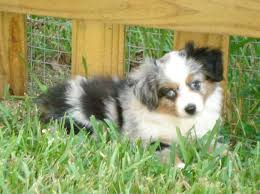 australian shepherd dog for sale best 25 teacup australian shepherd ideas on pinterest