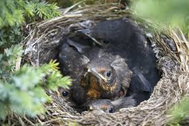 will birds abandon their young if humans disturb the nest
