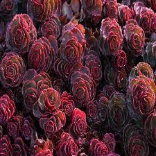 sedum dragons blood succulent seeds