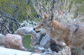 Animals In The Winter Coyotes In Arizona U2013 Desert Photos U2013 Tjs Garden