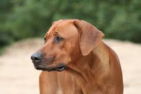 Do Brittany Spaniels Shed by Do Rhodesian Ridgebacks Shed U2022 Bunkblog