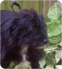 affenpinscher texas fraggle adopted dog 392 houston tx cairn terrier terrier