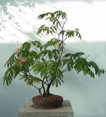 bonsai saule pleureur albizia mimosa bonsái pinterest bonsaï plantes et bonzaï