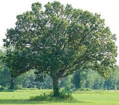 buy sw white oak tree 12 99 get free ship