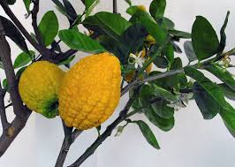 Plant Diseases Wikipedia - citron wikipedia