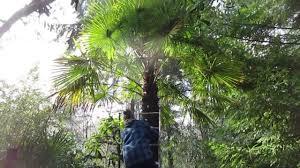 putting christmas lights on a palm tree youtube
