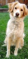 best 25 red golden retrievers ideas on pinterest golden life