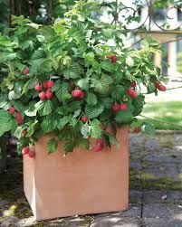 raspberry shortcake raspberry monrovia raspberry shortcake