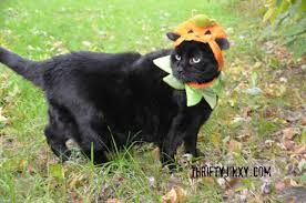 cats in costumes celebrating halloween with jinxy and sheba cat