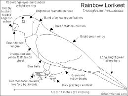 rainbow lorikeet adaptations lessons tes teach