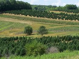 100 fraser christmas tree cutting boyd mountain christmas
