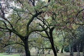 gorgeous trees picture of washington park arboretum seattle