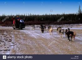 famous dog sledding team tundra near churchill northern studies