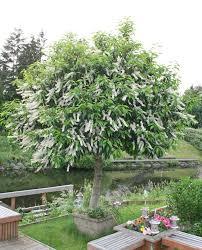 Bay Tree Topiary Plantfiles Pictures Portugal Laurel Portuguese Cherry Laurel