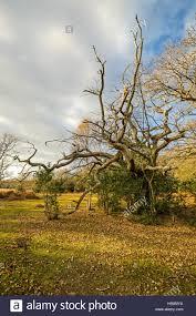 dead oak tree in autumn sunlight forest hshire uk stock photo
