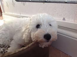 poodle vs bichon frise toy poodle x bichon frise clacton on sea essex pets4homes