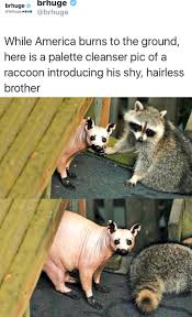 Racoon Meme - the best hairless raccoon memes memedroid