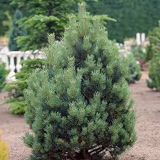 austrian pine tree for sale fast growing trees