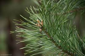 chemical that gives pine trees their smell could be used to make