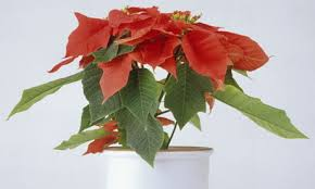 christmas plant the perils of poinsettia and other indoor plants for christmas