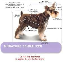 schnauzers hair cuts mini schnauzer hair cut miniature schnauzer kit miniature
