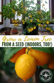 grow a lemon tree from a seed indoors too