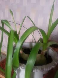 identification what is the name of this onion like plant