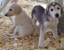 afghan hound underwater saluki puppies dog pinterest afghan hound dog and doggies