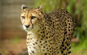 zoo saddened by the passing of u0027kifani u0027 the cheetah perth zoo