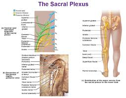 What Is Human Anatomy And Physiology Peripheral Nervous System Spinal Nerves And Plexuses