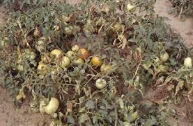 Tomato Plant Wilt Disease - verticillium wilt of tomato fact sheet