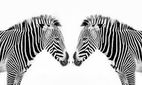 what color is a zebra what color is a zebra howstuffworks