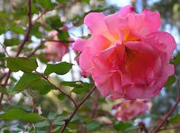 some china roses heritage roses in australia inc