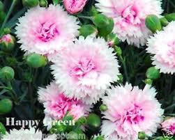 dianthus flower sonata mix 260 seeds dianthus plumarius perennial