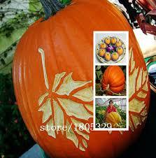 ggg ornamental pumpkin seeds more wing melon oval squash 50
