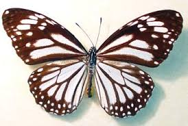 danaus melanippus the white tiger framed butterfly 1056