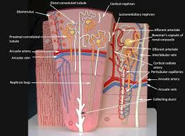 Anatomy And Physiology Lab Practical 2 244 Best Anatomy U0026 Physiology Practical 2 Images On Pinterest