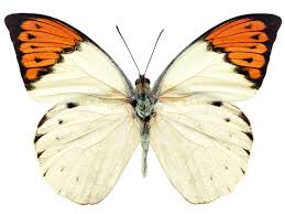 butterfly free stock photo an orange and white butterfly