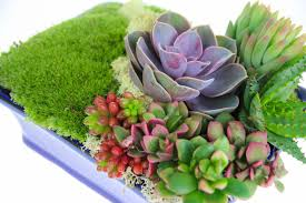 succulent kits succulent and cushion moss indoor planter kit in bonsai container