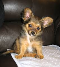 short haired chorkie chorkie chihuahua yorkie mixe breed profile what you need to